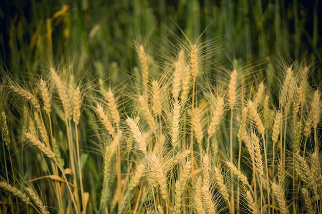 Campo de trigo dourado no verão.