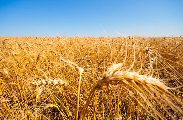 Campo de trigo dourado