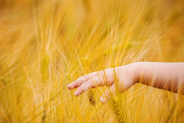 Campo de trigo e as mãos de uma criança. foco seletivo.