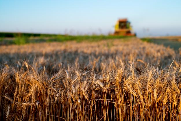 Campo de trigo em foco com colheita combinada para trás.