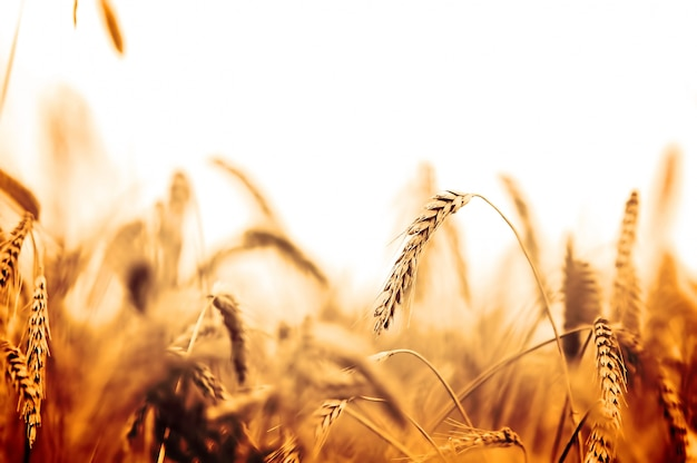 Campo de trigo em tons alaranjados