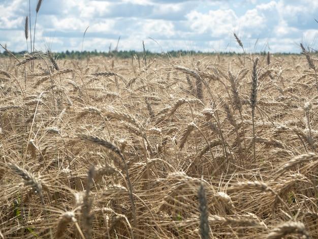 Campo de trigo em um dia nublado. conceito de agricultura e colheita