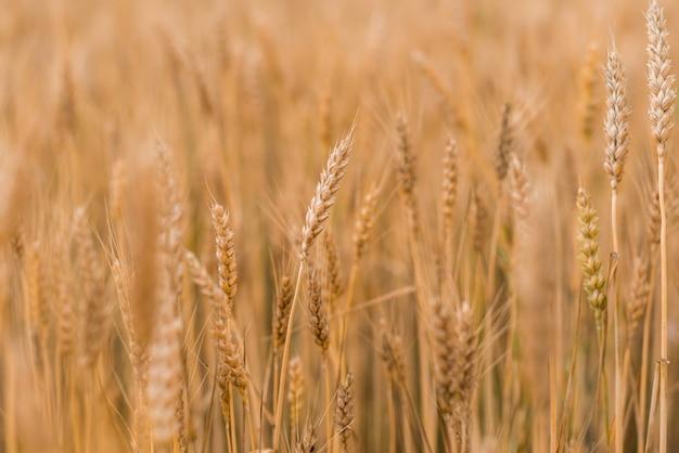 Campo de trigo . espigas de ouro de trigo closeup. conceito de colheita.