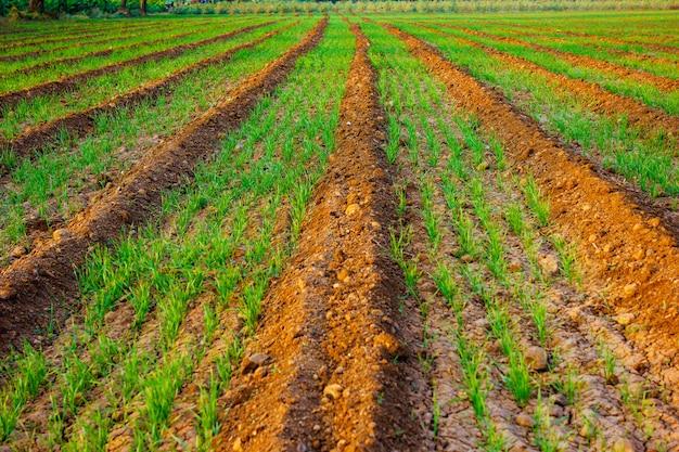 Campo de trigo indiano