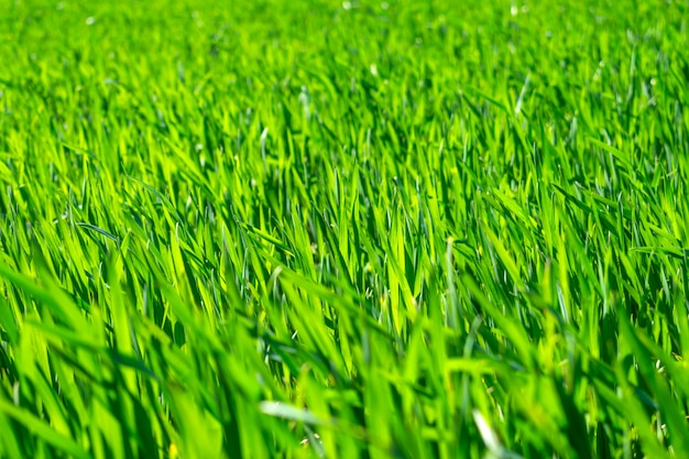 Campo de trigo jovem na primavera, mudas crescendo em um solo