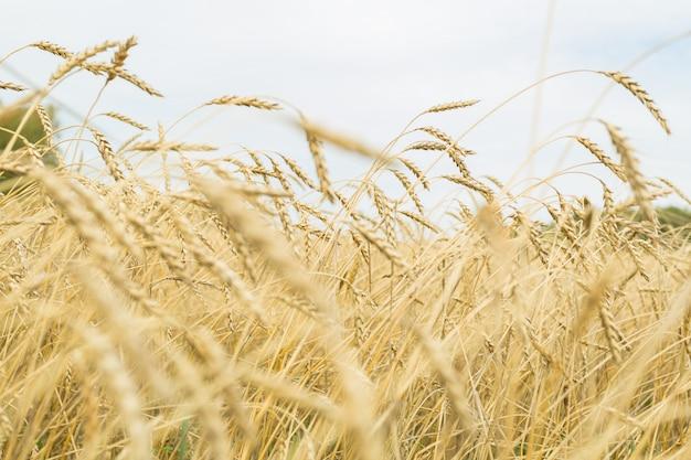 Campo de trigo maduro dourado close-up