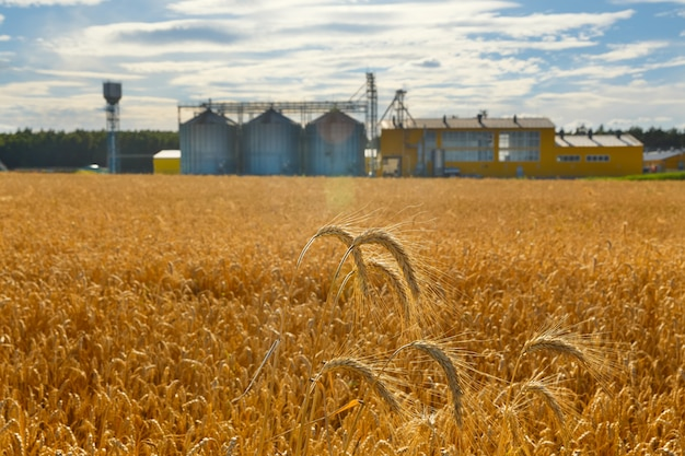 Campo de trigo maduro e complexo industrial para limpeza e secagem de grãos no fundo. cisternas metálicas para grãos.