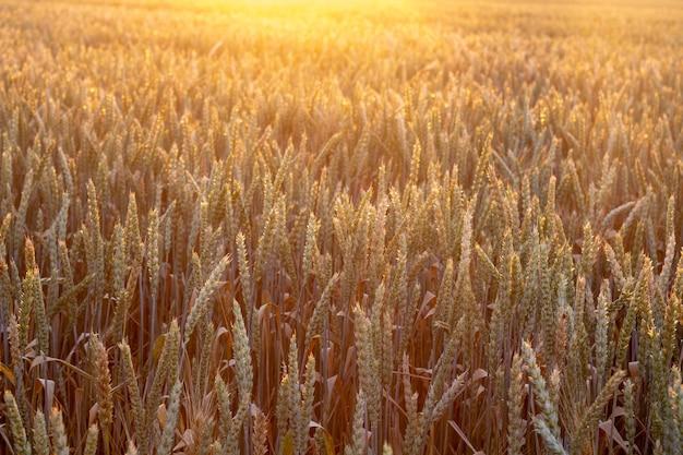 Campo de trigo maduro no pôr do sol colorido. paisagem rural. fundo