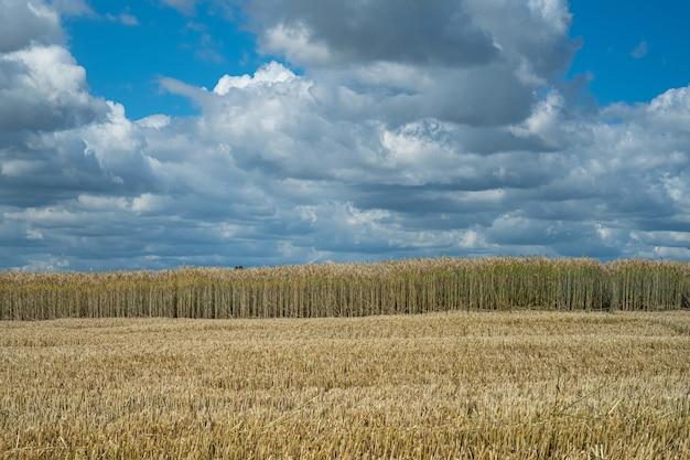 Campo de trigo meio colhido em área rural sob céu nublado