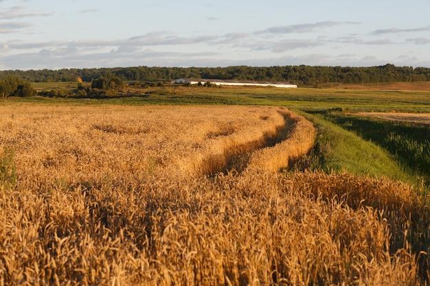 Campo de trigo no pôr do sol no verão