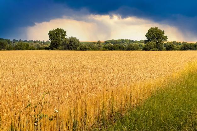 Campo de trigo no verão com céu escuro e tempestuoso