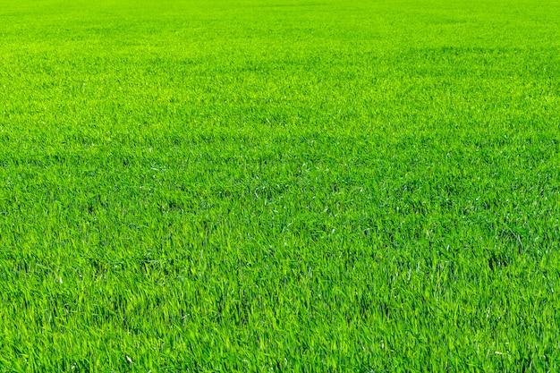 Campo de trigo novo na mola, plântulas que crescem em um solo.