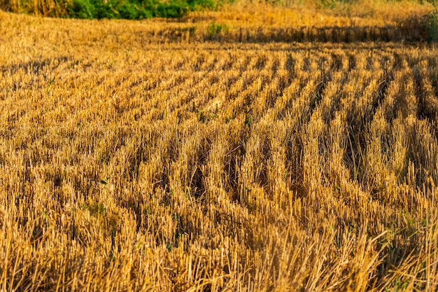 Campo de trigo recém cortada ao pôr do sol de verão
