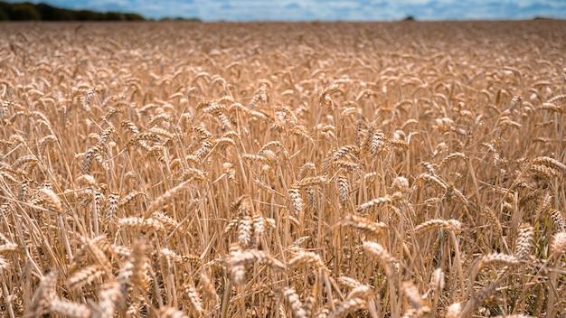 Campo de trigo sob a luz do sol em essex, reino unido