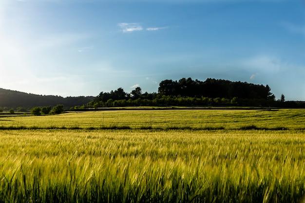 Campo de trigo verde ao pôr do sol com céu azul. Foto Premium