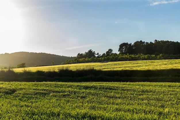 Campo de trigo verde ao pôr do sol com céu azul.