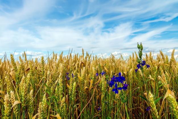 Campo de trigo verde cultivado contra o céu azul