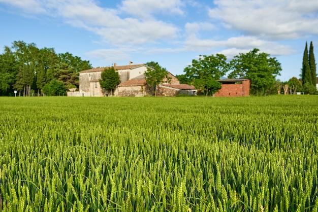 Campo de trigo verde e dia de sol na fazenda agrícola