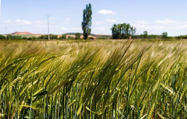 Campo de trigo verde e dia ensolarado, com árvores desfocadas e céu azul no fundo