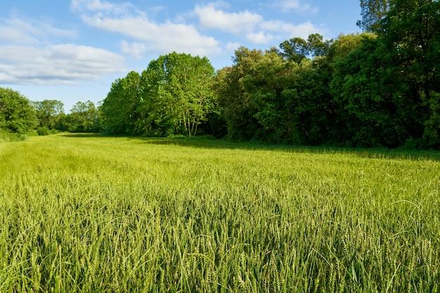 Campo de trigo verde e dia ensolarado.