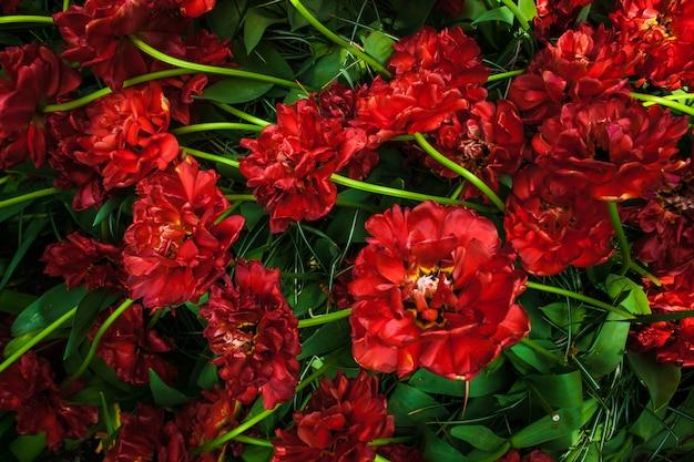 Campo de tulipa em jardins de keukenhof, lisse, holanda
