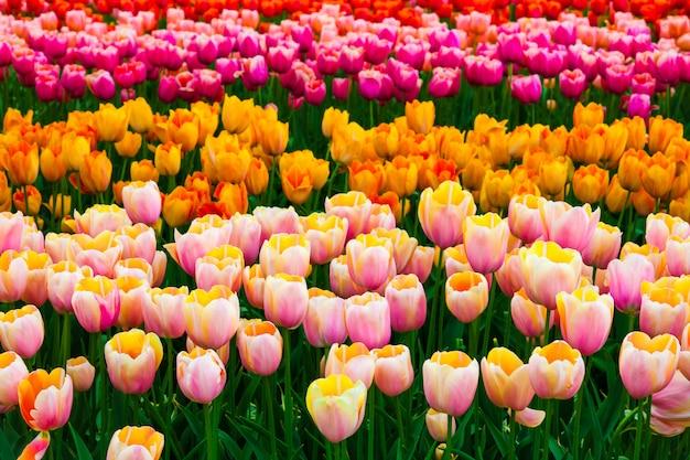 Campo de tulipa em jardins keukenhof, lisse, holanda