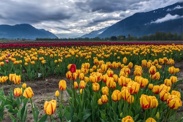 Campo de tulipas amarelas e vermelhas