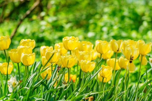 Campo de tulipas amarelas. fundo flor paisagem do jardim de verão