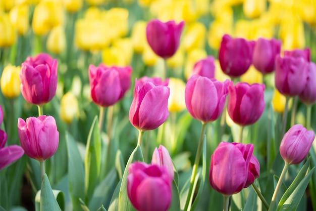 Campo de tulipas cor de rosa e amarelas na primavera. as tulipas coloridas florescem no jardim de florescência da flor da mola.