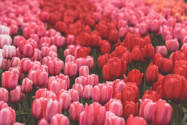 Campo de tulipas multicoloridas na holanda