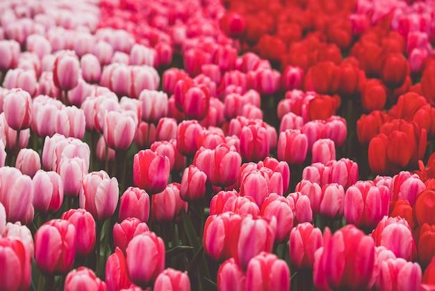 Campo de tulipas multicoloridas