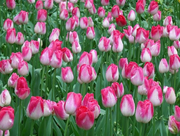 Campo de tulipas no chuveiro de primavera bando de flores desabrochando tulipas de dois tons flores de rosa e branco com pingos de chuva