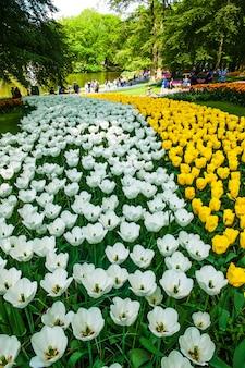 Campo de tulipas no jardim de flores keukenhof, lisse, holanda, holanda