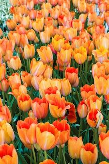 Campo de tulipas nos jardins de keukenhof, lisse, holanda