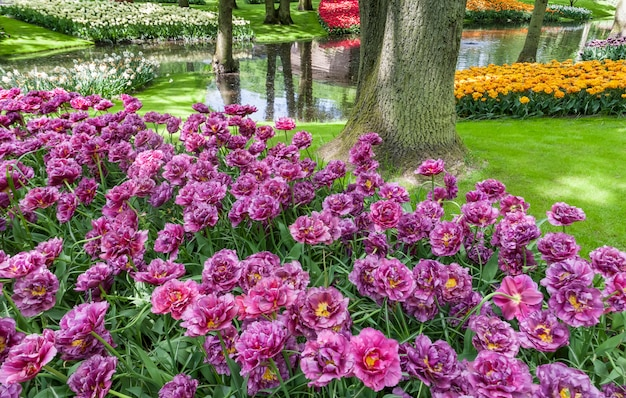 Campo de tulipas nos jardins keukenhof, lisse, holanda