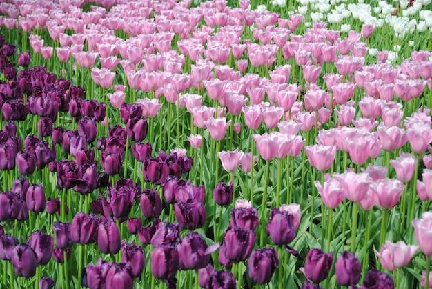 Campo de tulipas roxas, rosa e brancas