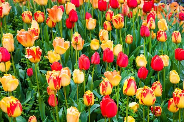 Campo de tulipas vermelhas e amarelas no parque keukenhof, holanda