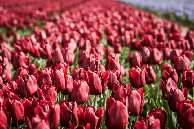 Campo de tulipas vermelhas na holanda
