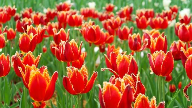 Campo de tulipas vermelhas na primavera