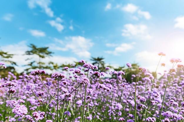 Campo de verbena em flor.
