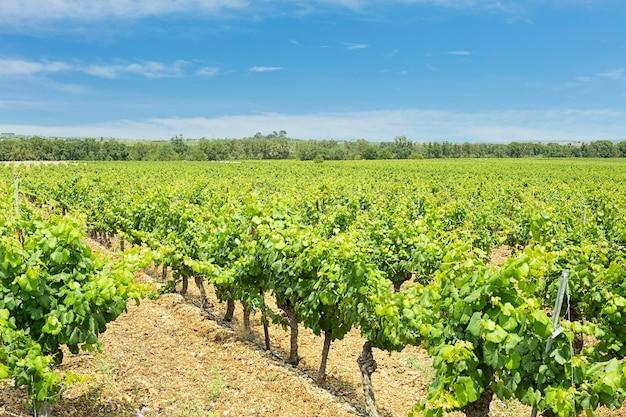 Campo de vinhas com folhas com céu azul e nuvens
