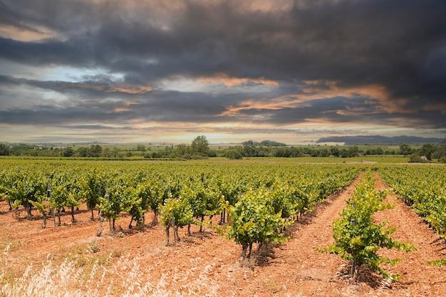 Campo de vinhas com folhas com céu laranja e nuvens