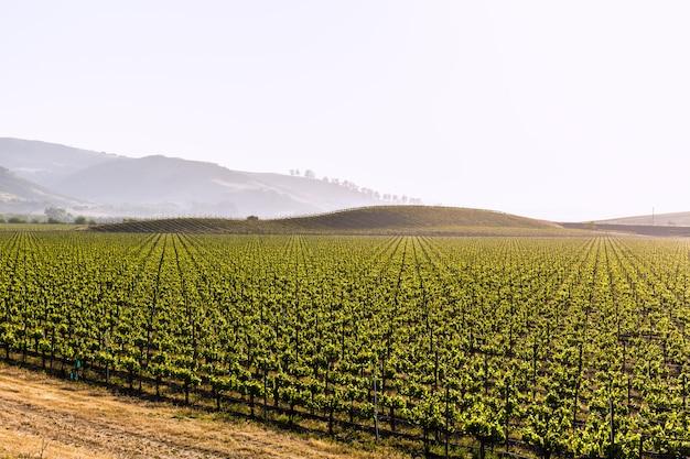Campo de vinhas da califórnia nos eua