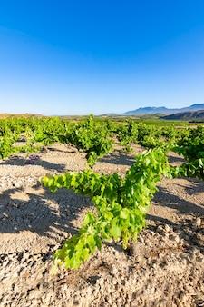 Campo de vinhas que amadurecem ao sol em la rioja. espanha