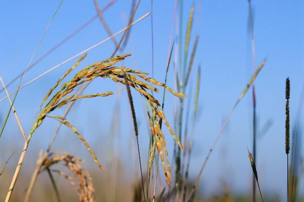 Campo do arroz na manhã com o sol que brilha completamente.