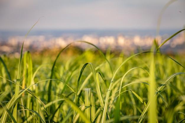 Campo do cana-de-açúcar com a cidade de ribeirao preto no backgrund no por do sol.