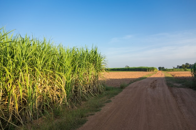 Campo do cana-de-açúcar com fundo da natureza do céu azul.