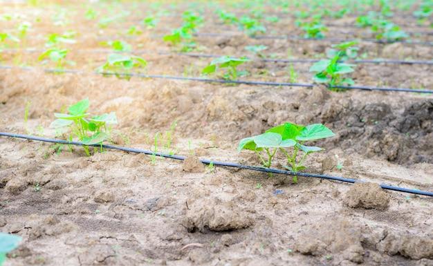 Campo do pepino que cresce com sistema de irrigação do gotejamento.