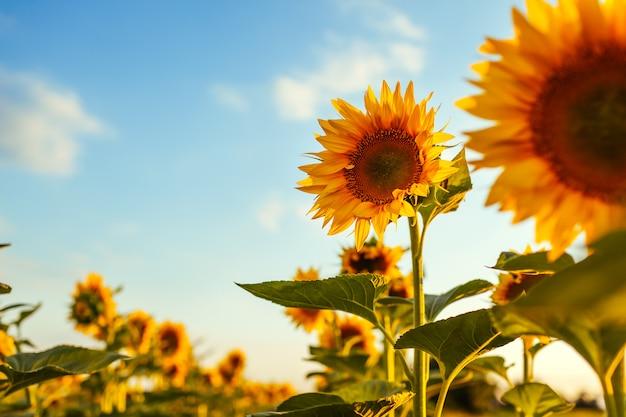 Campo do verão de girassóis de florescência no por do sol com céu azul acima.