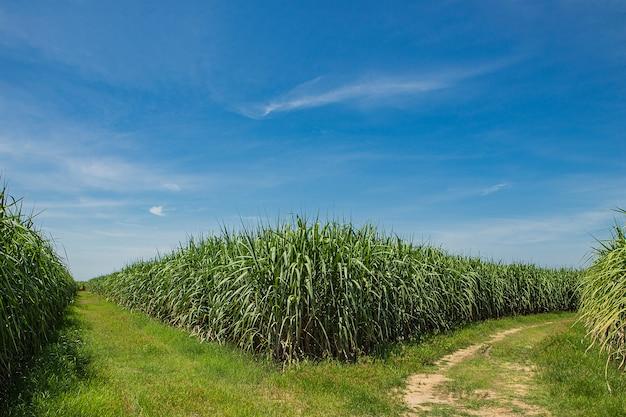 Campo e estrada de cana-de-açúcar